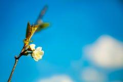 Υπόβαθρο άνοιξη με το άνθος και το μπλε ουρανό Στοκ φωτογραφία με δικαίωμα ελεύθερης χρήσης