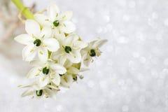 Υπόβαθρο άνοιξη με το αραβικό λουλούδι αστεριών (arabicu ornithogalum Στοκ Εικόνες