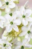 Υπόβαθρο άνοιξη με το αραβικό λουλούδι αστεριών (arabicu ornithogalum Στοκ Φωτογραφία