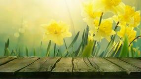 Υπόβαθρο άνοιξη Daffodil απεικόνιση αποθεμάτων
