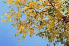 Υπόβαθρο δέντρων ντους με το μπλε ουρανό Στοκ Φωτογραφία