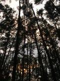 Υπόβαθρο δέντρων πεύκων της Νίκαιας Στοκ Φωτογραφία