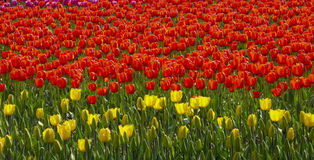 Υπόβαθρο ή σχέδιο κήπων λουλουδιών τουλιπών την άνοιξη Στοκ εικόνες με δικαίωμα ελεύθερης χρήσης