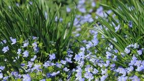 Υπόβαθρο λίγων μπλε μικρά λουλούδια Στοκ Φωτογραφία