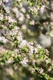Υπόβαθρο ανθών άνοιξη πορτοκαλί δέντρο φυλλώματος ανθών ανασκόπησης Τυπωμένη ύλη άνοιξη Κλάδος δέντρων της Apple άνοιξη φωτογραφι Στοκ φωτογραφία με δικαίωμα ελεύθερης χρήσης