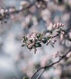 Υπόβαθρο ανθών άνοιξη πορτοκαλί δέντρο φυλλώματος ανθών ανασκόπησης Τυπωμένη ύλη άνοιξη Κλάδος δέντρων της Apple άνοιξη φωτογραφι Στοκ φωτογραφίες με δικαίωμα ελεύθερης χρήσης