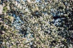 Υπόβαθρο ανθών άνοιξη πορτοκαλί δέντρο φυλλώματος ανθών ανασκόπησης Τυπωμένη ύλη άνοιξη Κλάδος δέντρων της Apple άνοιξη φωτογραφι Στοκ Φωτογραφίες