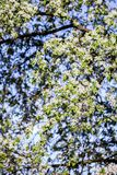 Υπόβαθρο ανθών άνοιξη πορτοκαλί δέντρο φυλλώματος ανθών ανασκόπησης Τυπωμένη ύλη άνοιξη Κλάδος δέντρων της Apple άνοιξη φωτογραφι Στοκ Εικόνες