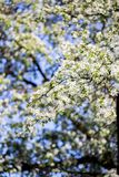 Υπόβαθρο ανθών άνοιξη πορτοκαλί δέντρο φυλλώματος ανθών ανασκόπησης Τυπωμένη ύλη άνοιξη Κλάδος δέντρων της Apple άνοιξη φωτογραφι Στοκ Εικόνα