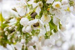 Υπόβαθρο ανθών οφθαλμών κλάδων δέντρων κερασιών ως όμορφη έννοια εποχής άνθισης λουλουδιών άνοιξης Στοκ Φωτογραφίες