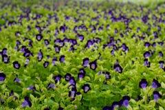 Υπόβαθρο ανοίξεων μαλακός-εστίασης με τα όμορφα πορφυρά λουλούδια στο GA Στοκ Εικόνες