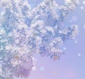 Υπόβαθρο από άσπρα florets άνοιξη στους κλάδους Στοκ Φωτογραφία