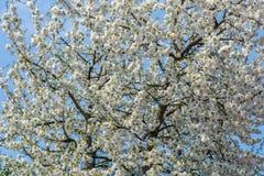 Υπόβαθρο από τα άσπρα λουλούδια ενός δέντρου κερασιών στοκ φωτογραφίες με δικαίωμα ελεύθερης χρήσης
