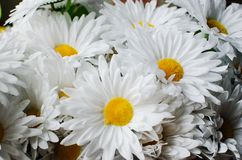 Υπόβαθρο από τα λουλούδια, matricaria στοκ φωτογραφία με δικαίωμα ελεύθερης χρήσης