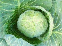 Υπόβαθρο από το πράσινο φύλλο του λάχανου Στοκ Φωτογραφία