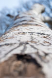 Υπόβαθρο από το φλοιό λευκών δέντρο σύστασης κινηματογραφήσεων σε πρώτο πλάνο φλοιών Στοκ Εικόνες