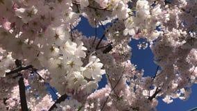 Υπόβαθρο δέντρων ανθών κερασιών που κινεί τις βλασταημένες ακτίνες ηλιοφάνειας μπλε ουρανού απόθεμα βίντεο