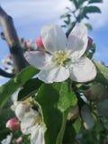υπόβαθρο δέντρων μηλιάς ανθών με το ρηχό βάθος του τομέα και του διαστήματος για το κείμενο στοκ εικόνα με δικαίωμα ελεύθερης χρήσης