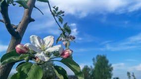 υπόβαθρο δέντρων μηλιάς ανθών με το ρηχό βάθος του τομέα και του διαστήματος για το κείμενο στοκ εικόνες