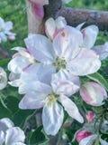 υπόβαθρο δέντρων μηλιάς ανθών με το ρηχό βάθος του τομέα και του διαστήματος για το κείμενο στοκ εικόνες με δικαίωμα ελεύθερης χρήσης