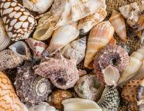 Υπόβαθρο θαλασσινών κοχυλιών, μέρη των διαφορετικών θαλασσινών κοχυλιών που συσσωρεύονται από κοινού Στοκ Εικόνα