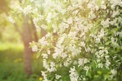 Υπόβαθρο κήπων λουλουδιών άνοιξη, δέντρο της Apple ανθών Στοκ εικόνα με δικαίωμα ελεύθερης χρήσης