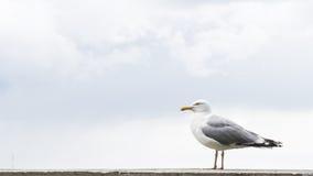 Υπόβαθρο καρτών πουλιών γλάρων Στοκ Εικόνα