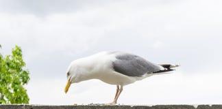 Υπόβαθρο καρτών πουλιών γλάρων Στοκ Εικόνες