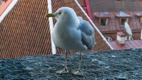 Υπόβαθρο καρτών πουλιών γλάρων Στοκ εικόνες με δικαίωμα ελεύθερης χρήσης