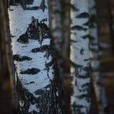 Υπόβαθρο κινηματογραφήσεων σε πρώτο πλάνο φλοιών κορμών αλσών δέντρων σημύδων, μεγάλη λεπτομερής κάθετη σκηνή τοπίων Μαρτίου σημύ στοκ φωτογραφίες