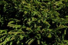 Υπόβαθρο κλάδοι γούνινοι δέντρων σύστασης για μια κάρτα Χριστουγέννων Εκλεκτική εστίαση στοκ εικόνα με δικαίωμα ελεύθερης χρήσης