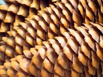 Υπόβαθρο κώνων πεύκων Στοκ Φωτογραφία