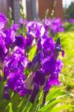 Υπόβαθρο λουλουδιών άνοιξη - πορφυρό πρόωρο λουλούδι ίριδων άνοιξη κάτω Στοκ Φωτογραφίες