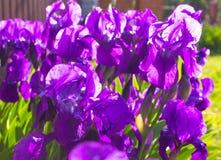 Υπόβαθρο λουλουδιών άνοιξη - πορφυρό πρόωρο λουλούδι ίριδων άνοιξη κάτω Στοκ εικόνα με δικαίωμα ελεύθερης χρήσης