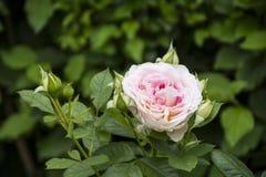Υπόβαθρο λουλουδιών με το ροδαλό λουλούδι, άποψη κινηματογραφήσεων σε πρώτο πλάνο στοκ εικόνα