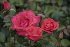 Υπόβαθρο λουλουδιών με το ροδαλό λουλούδι, άποψη κινηματογραφήσεων σε πρώτο πλάνο στοκ εικόνα με δικαίωμα ελεύθερης χρήσης