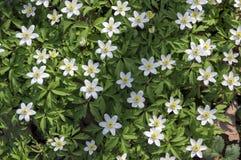 Υπόβαθρο λουλουδιών των λουλουδιών άνοιξη nemorosa anemone, ξύλο anemones στην άνθιση Στοκ φωτογραφίες με δικαίωμα ελεύθερης χρήσης