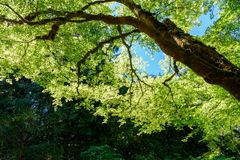 Υπόβαθρο, μεγάλο δέντρο άδειας σχεδίων πράσινο Στοκ φωτογραφία με δικαίωμα ελεύθερης χρήσης