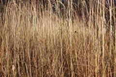 Υπόβαθρο με μια ξηρά χλόη φθινοπώρου Στοκ Εικόνες