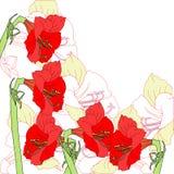 Υπόβαθρο με πέντε κόκκινα amaryllises Στοκ Εικόνες