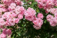 Υπόβαθρο με τα όμορφα ρόδινα τριαντάφυλλα Στοκ Φωτογραφία
