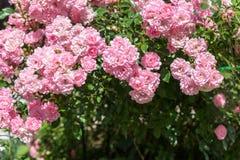 Υπόβαθρο με τα όμορφα ρόδινα τριαντάφυλλα Στοκ Φωτογραφίες