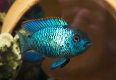 Υπόβαθρο με τα όμορφα τυρκουάζ aquarian μικρά ψάρια, Nannaca Στοκ εικόνες με δικαίωμα ελεύθερης χρήσης