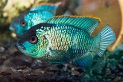 Υπόβαθρο με τα όμορφα τυρκουάζ aquarian μικρά ψάρια, Nannaca Στοκ εικόνα με δικαίωμα ελεύθερης χρήσης