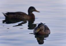 Υπόβαθρο με την κολύμβηση μερικών πρασινολαιμών Στοκ φωτογραφία με δικαίωμα ελεύθερης χρήσης