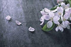 Υπόβαθρο με το δέντρο της Apple λουλουδιών και πετάλων με το διάστημα αντιγράφων Στοκ Φωτογραφία