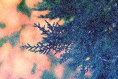 Υπόβαθρο με το αειθαλές δέντρο thuja arborvitae κλάδων cypres Στοκ Εικόνες