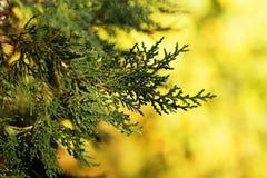 Υπόβαθρο με το αειθαλές κυπαρίσσι δέντρων thuja arborvitae κλάδων Στοκ Εικόνες