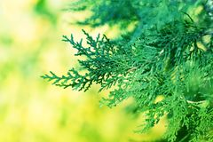 Υπόβαθρο με το αειθαλές κυπαρίσσι δέντρων thuja arborvitae κλάδων Στοκ εικόνες με δικαίωμα ελεύθερης χρήσης