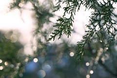 Υπόβαθρο με το αειθαλές κυπαρίσσι δέντρων thuja arborvitae κλάδων Στοκ Φωτογραφίες